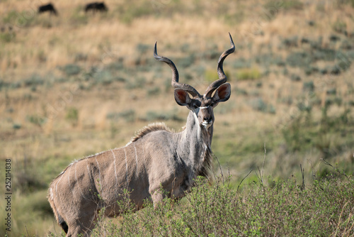 male kudu in the african bush