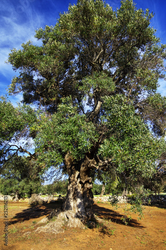 Typical plantation with old oddity olive trees for Apulia region at the south It Fototapet