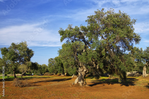 Vászonkép Typical plantation with old oddity olive trees for Apulia region at the south It