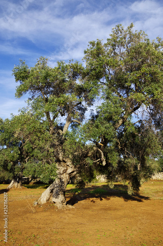 Valokuvatapetti Typical plantation with old oddity olive trees for Apulia region at the south It