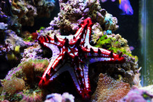 Red Knob Sea Star - (Protoreaster Linckii)