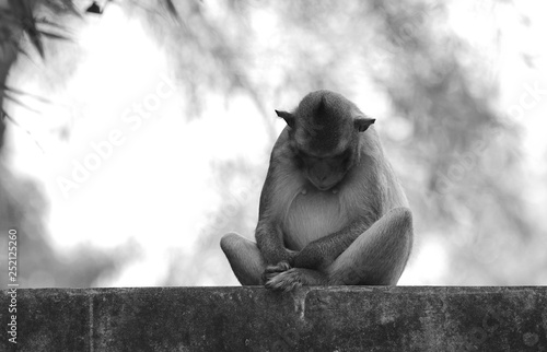 Foto op Aluminium Aap Black and white close up of meditating wild long-tailed macaque monkey (cynomolgus) on cement wall. Sleeping while sitting upright in the vajrasana yogi postiton (illustration of full lotus posture)