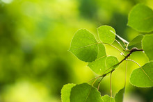 Vibrant, Green Aspen Leaves Grow On A Branch In A Rocky Mountain Forest.