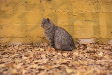 Grey Stray Cat Sitting Near Yellow Wall On Autumn Leaves In Park In Odessa