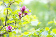 Leinwanddruck Bild - Pink violet tender Magnolia flowers.  Beautiful blossomed  branch at spring. Magnolia flower blooming tree. Nature, spring background