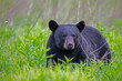 canvas print picture - Single Black Bear feeds on green grass in the Smoky Mountains.