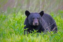 Single Black Bear Feeds On Gre...
