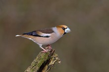 Hawfinch (Coccothraustes Coccothraustes) Male Standing On A Branch, North Rhine-Westphalia, Germany, Europe