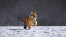 Siberian Tiger (Panthera Tigri...