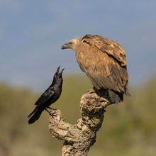 Griffon Vulture (Gyps Fulvus), Juvenile And Raven (Corvus Corax), Fighting On Branch Of A Cork Oak, Extremadura, Spain, Europe