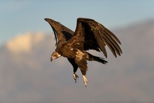 Monk Vulture (Aegypius Monachus) In Flight, Extremadura, Spain, Europe
