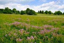 Meadow Cranesbill (Geranium Pr...