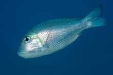 Humpnose Big-eye Bream (Monotaxis Grandoculis) Swims In The Open Sea, Red Sea, Egypt, Africa