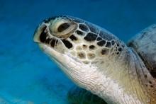Green Turtle (Chelonia Mydas) ...