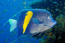 Halfmoon Angelfish (Pomacanthus Maculosus), Red Sea, Egypt, Africa