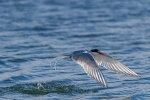 Arctic Tern (Sterna Paradisaea), In Flight While Fishing Over The Sea, Drangsnes, Island