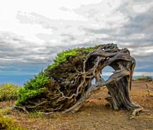 Gnarled Juniper Tree Shaped By...