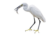 Eastern Great Egret Eating Fish In Mount - Isolated White Background.