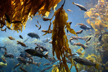 Feeding Frenzy In Kelp Forest