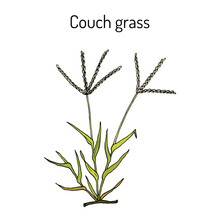 Couch Grass Elymus Repens , Or Twitch, Medicinal Plant