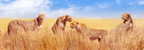 Fototapeta Sawanna - Group of cheetahs in the African savannah. Africa, Tanzania, Serengeti National Park. Banner design. Wild life of Africa.