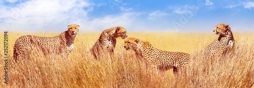 Grupa gepardy w afrykańskiej sawannie. Afryka, Tanzania, Park Narodowy Serengeti. Projekt banera. Dzikie życie Afryki.