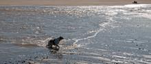 Brittany Spaniel Dog Swimming At The Mouth Of Santa Clara River And The Pacific Ocean At Ventura California United States