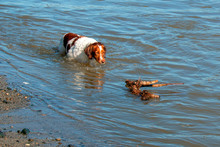 Brittany Spaniel Dog Fetching Stick At The Mouth Of The Santa Clara River And The Pacific Ocean At Ventura California United States
