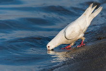 A Beautiful White Pigeon Quenc...