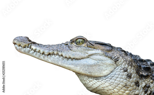 Photo sur Toile Crocodile Freshwater crocodile ( Crocodylus mindorensis ) isolated on a white background. Lizard living in Philippines.
