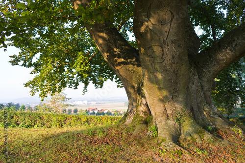 Obraz giant beech tree near tillysburg castle, upper austria - fototapety do salonu