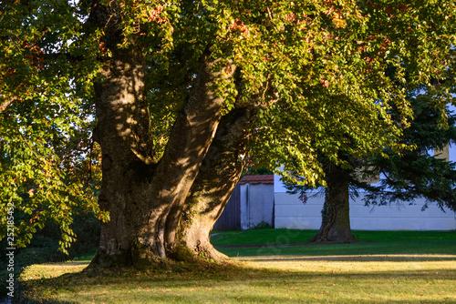 Obraz giant beech tree near tillysburg, austria - fototapety do salonu