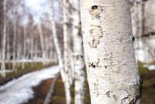 Bare Birch Trees. A Birch Tree...