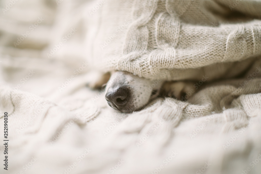Fototapeta Dog nose under the blanket. sick ill flu dog nose in bed. Cozy home recovering