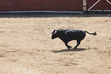 Fighting Bull Running In The A...