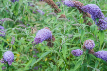 Farfalle Che Giocano Su Pannocchie Profumate Di Miele Di Buddleja Davidii Viola