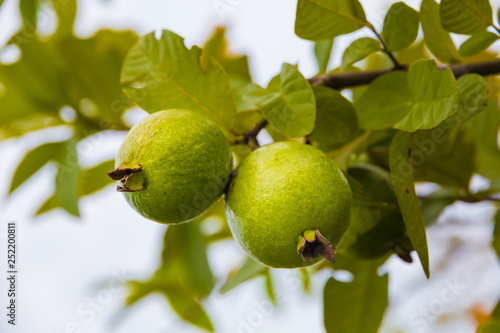Two nice green round and oval shaped guava fruits (Psidium