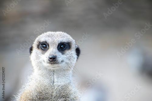 Portrait of meerkat looking straight at the camera Wallpaper Mural