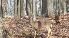 Two White Tailed Deer In A Woo...
