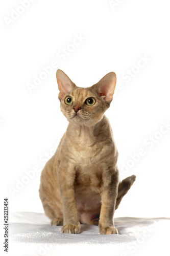 Photo  Devon Rex  Cat on white background