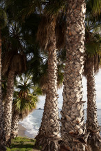 Background Image Of Palm Tree Trunks