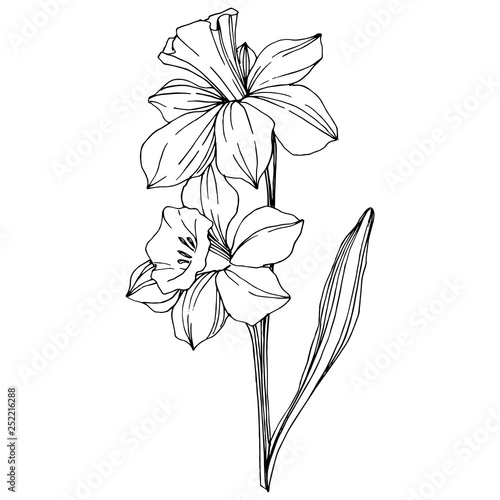 Fototapeta Vector Narcissus floral botanical flower