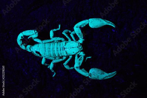 Photo Scorpion under UV light, Scorpiones, Matheran, Maharashtra, India