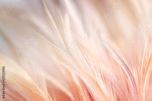 Obraz paw   pastel-colored-of-chicken-feathers-in-soft-and-blur-style-for-the-background