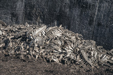 Bones Of Cows Dumped In A Large Pile At A Landfill. Disrespect, Deadly Business, Eating Meat