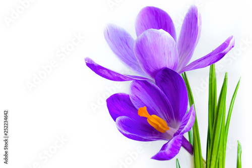 Fototapety, obrazy: Crocuses on a white background close-up