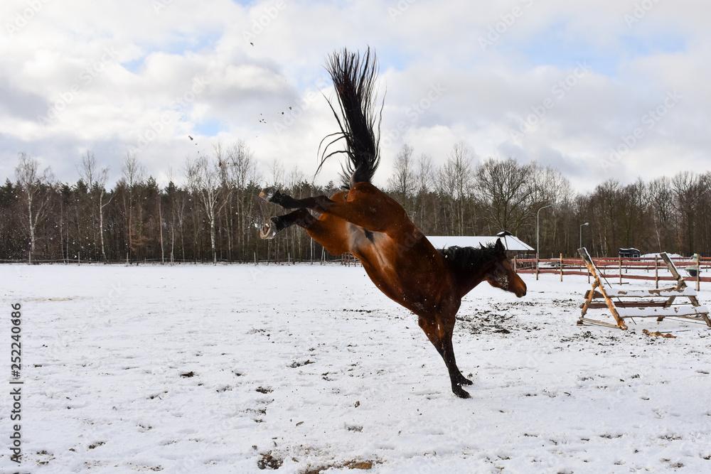 Fototapeta Brykający koń