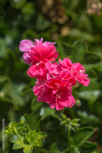 Tuinposter Azalea flowering pelargonium background