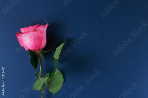 Fotografie, Obraz  One pink beautiful rose on a dark blue background