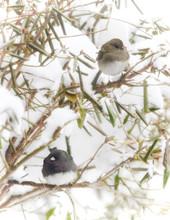 Pair Of Dark-eyed Juncos In Snow